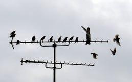 Starlings сидя на антенне Стоковое Изображение RF