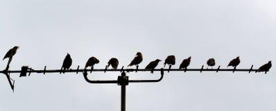 Starlings сидя на антенне Стоковые Фотографии RF
