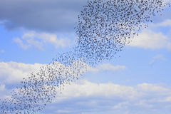Starlings royalty free stock images