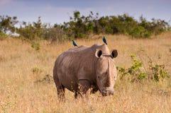 空白犀牛的starlings 免版税库存图片