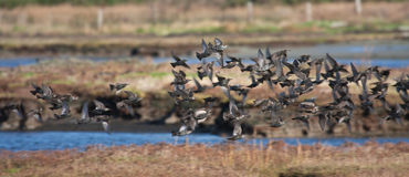 Starlings Stock Photography