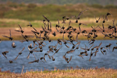Starlings Lizenzfreie Stockfotos