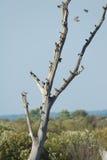 Starlings 免版税图库摄影