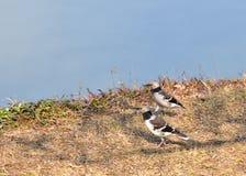 2 starlings Стоковое Фото