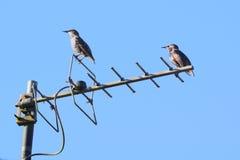 starlings Стоковое Фото