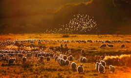 Starlings above the sheeps. 2 flocks of starlings and sheeps retreating home in the evening before sunset in the fields and hills of Transylvania between Cluj Stock Photography