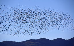 Starlings in Acrobatic Mass Stock Photos