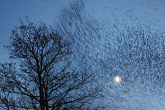Starlings across the Moon royalty free stock photography