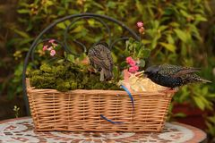Starlings and basket of goodies Stock Image