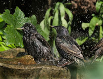 Starlings bathing in bird bath. Royalty Free Stock Photo