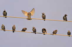 Starlings bird on wires in sky. Starling birds perched on telephone or telegraph wires in sky Stock Images