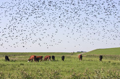 Starlings and cows in Groninger landscape, Holland royalty free stock photo