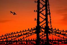 Starlings, das auf einem Leistungpol stillsteht Stockfoto