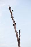 Starlings on dead tree Stock Image