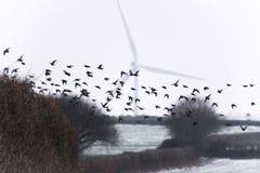Starlings die voor windturbine vliegen Royalty-vrije Stock Foto's