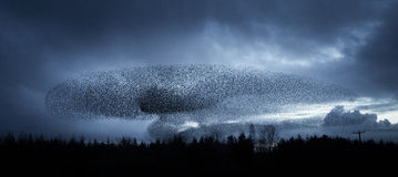 Starlings at Dusk Stock Photos