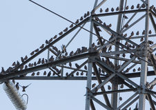 Starlings on electricity pylon Royalty Free Stock Image