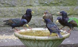 Starlings feeding on a bird bath. Adult and young starlings feeding on a bird bath filled with mealworms. A young starling is demanding food from the adult Stock Image