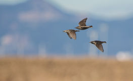 Starlings in flight Royalty Free Stock Images