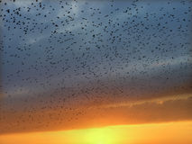 Starlings in flight Stock Images