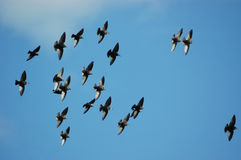 Starlings in flight. Group of starlings (Sturnus vulgaris) in flight Stock Images