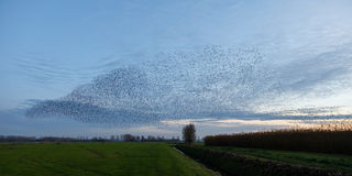 Starlings Royalty Free Stock Image