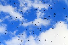 Starlings fly in the autumn sky Royalty Free Stock Images