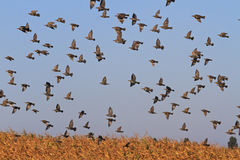 Starlings fly over corn field Royalty Free Stock Photography