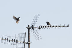 Starlings flying from antenna Royalty Free Stock Photo