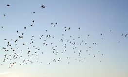Starlings flying at dusk Royalty Free Stock Images