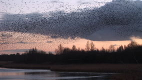 Starlings murmuration in the sky low over trees