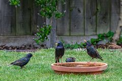 Free Starlings Meeting At The Bird Bath Stock Images - 183663054