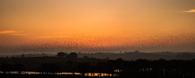 Starlings Royalty Free Stock Photography
