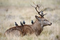Starlings na parte traseira de um veado dos cervos vermelhos Fotografia de Stock