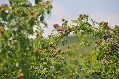 Starlings op een haagdoorn Royalty-vrije Stock Fotografie