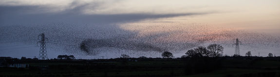 Starlings over the Power Lines stock photos