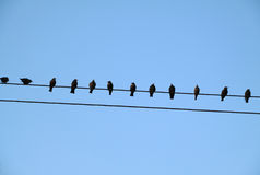 Starlings perched on a wire. Royalty Free Stock Images