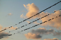 Starlings perched on a wire. Stock Photos