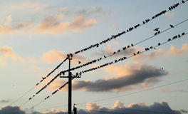 Starlings perched on a wire. Stock Photography