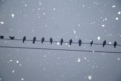 Starlings perched on a wire Royalty Free Stock Photos