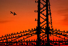 Starlings resting on a power pole Stock Photo