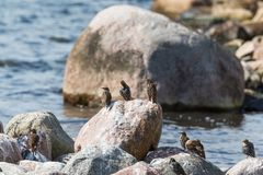 Starlings sitting on a rock Stock Photo