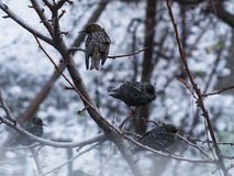 Starlings sitting on a tree branch Stock Images