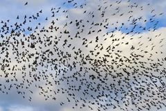 Starlings in the sky with clouds Royalty Free Stock Photos