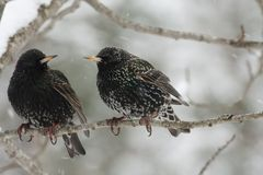 Starlings in snow Stock Photos