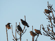 Starlings this spring 2017 in the village Tomasica Royalty Free Stock Photography