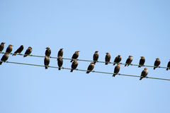 Starlings (Sturnus vulgaris) на проводах телеграфа Стоковые Фото
