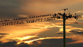 Starlings on telegraph wires. Royalty Free Stock Photos