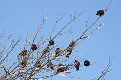 Starlings - RAW format Stock Images