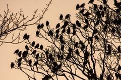 Starlings Stock Photos